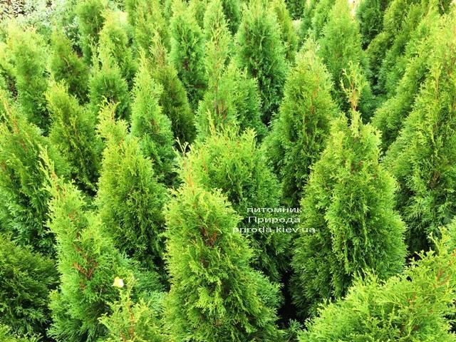 Туя западная Смарагд (Thuja occidentalis Smaragd) ФОТО Питомник растений Природа Priroda (101)