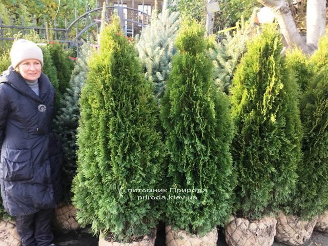 Туя западная Смарагд (Thuja occidentalis Smaragd) ФОТО Питомник растений Природа Priroda (94)