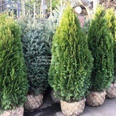 Туя западная Смарагд (Thuja occidentalis Smaragd) ФОТО Питомник растений Природа Priroda (96)