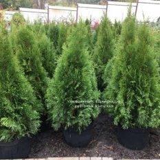 Туя западная Смарагд (Thuja occidentalis Smaragd) ФОТО Питомник растений Природа Priroda (97)