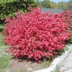 Бересклет крылатый (Euonymus alatus) ФОТО Питомник растений Природа Priroda (20)