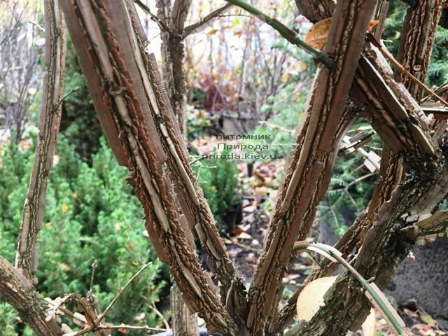Бересклет крылатый Компактус (Euonymus alatus Compactus) ФОТО Питомник растений Природа (30)
