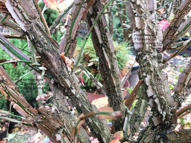 Бересклет крылатый Компактус (Euonymus alatus Compactus) ФОТО Питомник растений Природа (32)