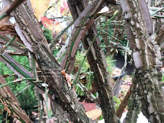 Бересклет крылатый Компактус (Euonymus alatus Compactus) ФОТО Питомник растений Природа (33)