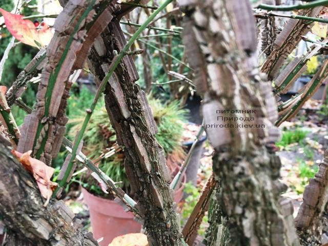 Бересклет крылатый Компактус (Euonymus alatus Compactus) ФОТО Питомник растений Природа (34)