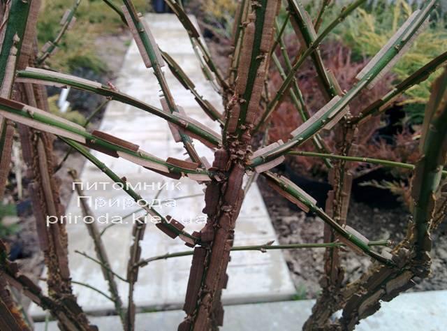 Бересклет крылатый Компактус (Euonymus alatus Compactus) ФОТО Питомник растений Природа (22)