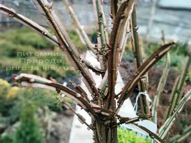 Бересклет крылатый Компактус (Euonymus alatus Compactus) ФОТО Питомник растений Природа (23)