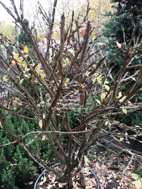 Бересклет крылатый Компактус (Euonymus alatus Compactus) ФОТО Питомник растений Природа (28)