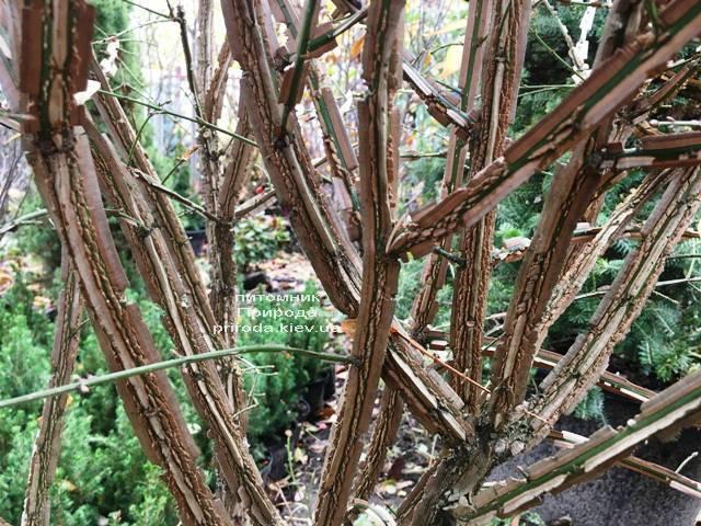 Бересклет крылатый Компактус (Euonymus alatus Compactus) ФОТО Питомник растений Природа (29)