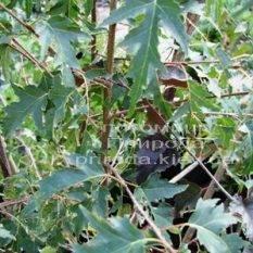 Берёза повислая Далекарлика (Betula pendula Dalecarlica) ФОТО Питомник растений Природа (Priroda)