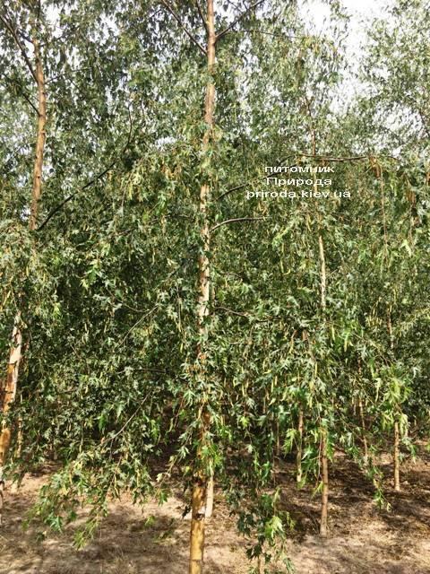 Берёза повислая Далекарлика (Betula pendula Dalecarlica) ФОТО Питомник растений Природа (Priroda) (22)