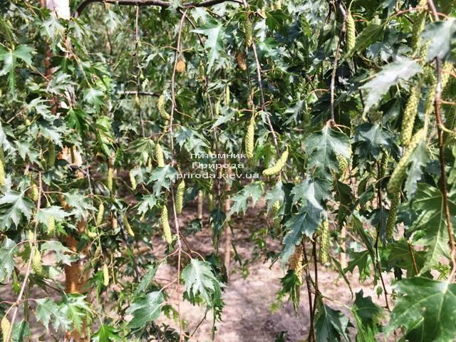 Берёза повислая Далекарлика (Betula pendula Dalecarlica) ФОТО Питомник растений Природа (Priroda) (24)
