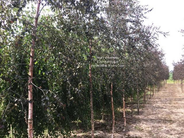 Берёза повислая Пурпуреа (Betula pendula Purpurea) ФОТО Питомник растений Природа (Priroda) (26)