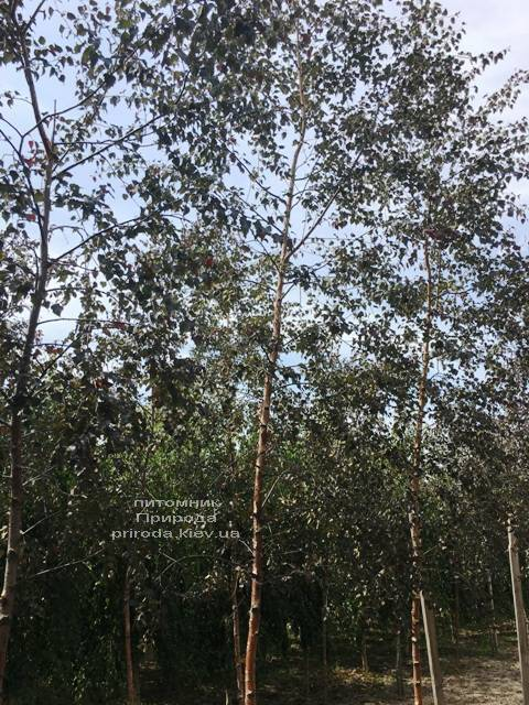 Берёза повислая Пурпуреа (Betula pendula Purpurea) ФОТО Питомник растений Природа (Priroda) (27)