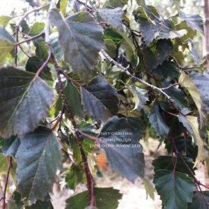 Берёза повислая Пурпуреа (Betula pendula Purpurea) ФОТО Питомник растений Природа (Priroda)