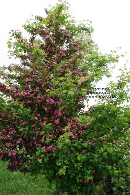 Боярышник колючий (обыкновенный) Пол Скарлет (Crataegus x media Paul's Scarlet) ФОТО Питомник растений Природа Priroda (7)