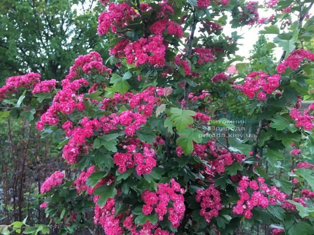 Боярышник колючий (обыкновенный) Пол Скарлет (Crataegus x media Paul's Scarlet) ФОТО Питомник растений Природа Priroda (11)