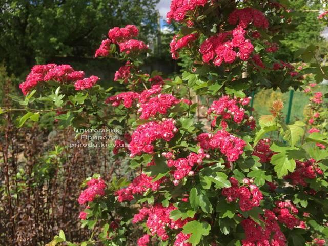 Боярышник колючий (обыкновенный) Пол Скарлет (Crataegus x media Paul's Scarlet) ФОТО Питомник растений Природа Priroda (13)