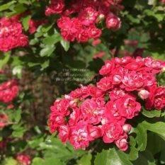 Боярышник колючий (обыкновенный) Пол Скарлет (Crataegus x media Paul's Scarlet) ФОТО Питомник растений Природа Priroda (18)