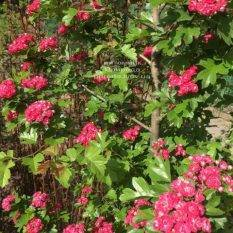 Боярышник колючий (обыкновенный) Пол Скарлет (Crataegus x media Paul's Scarlet) ФОТО Питомник растений Природа Priroda