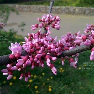 Церцис канадский (Cercis canadensis) ФОТО Питомник растений Природа (Priroda) (1)
