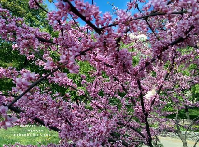 Церцис канадский (Cercis canadensis) ФОТО Питомник растений Природа (Priroda) (3)