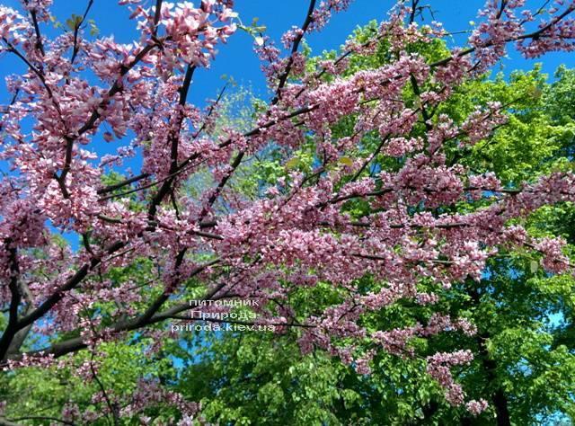 Церцис канадский (Cercis canadensis) ФОТО Питомник растений Природа (Priroda) (4)