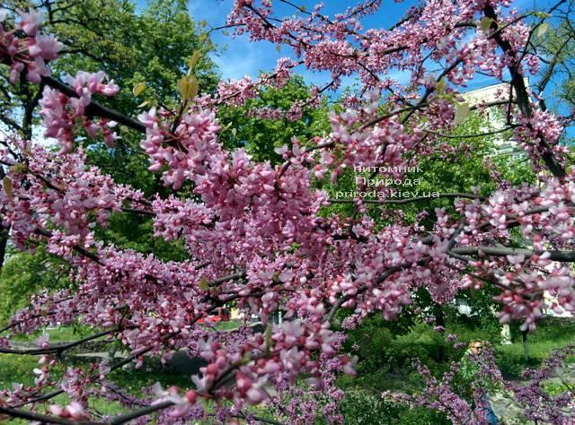 Церцис канадский (Cercis canadensis) ФОТО Питомник растений Природа (Priroda) (6)