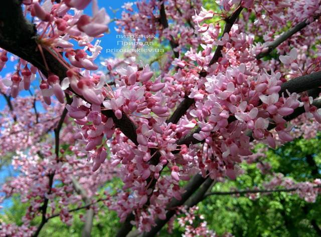Церцис канадский (Cercis canadensis) ФОТО Питомник растений Природа (Priroda)