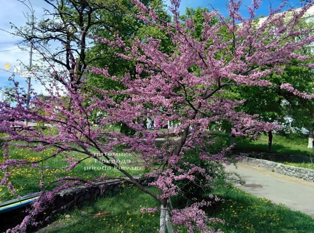 Церцис канадский (Cercis canadensis) ФОТО Питомник растений Природа (Priroda) (8)