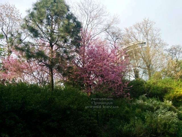 Церцис канадский (Cercis canadensis) ФОТО Питомник растений Природа (Priroda) (9)