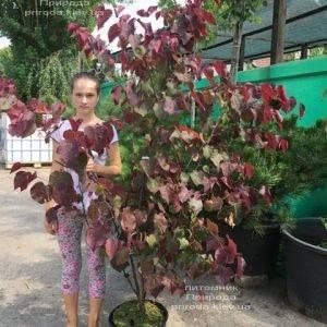 Церцис канадский Форест Панси (Cercis canadensis Forest Pansy) ФОТО Питомник растений Природа (Priroda) (11)