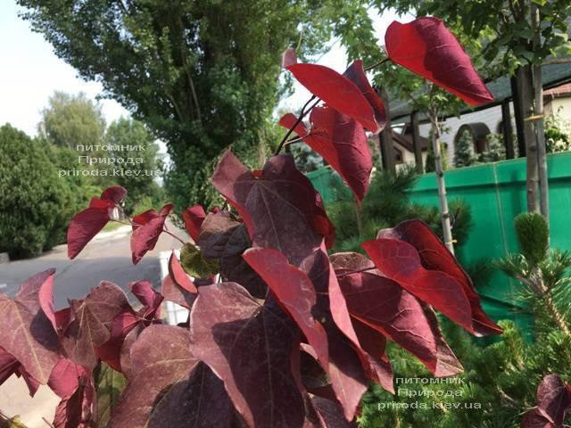 Церцис канадский Форест Панси (Cercis canadensis Forest Pansy) ФОТО Питомник растений Природа (Priroda) (12)