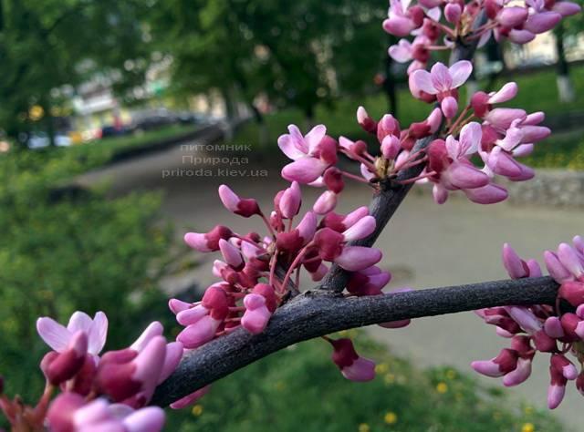 Церцис канадский Форест Панси (Cercis canadensis Forest Pansy) ФОТО Питомник растений Природа (Priroda) (17)