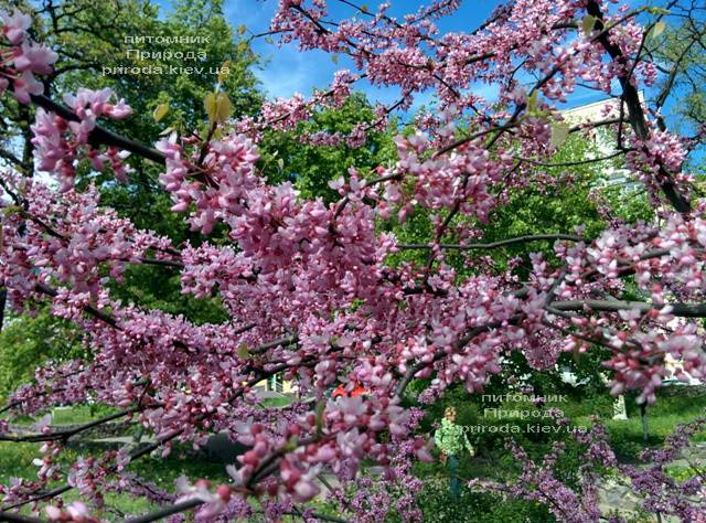 Церсис канадский Форест Панси (Cercis canadensis Forest Pansy) ФОТО Питомник растений Природа (Priroda)