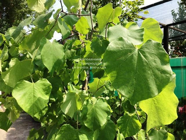 Церцис канадский Лавендер Твист (Cercis canadensis Lavender Twist) ФОТО Питомник растений Природа (Priroda) (14)