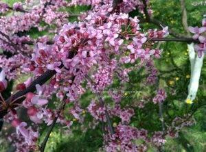Церцис канадский Лавендер Твист (Cercis canadensis Lavender Twist) ФОТО Питомник растений Природа (Priroda) (19)