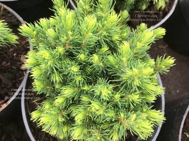 Ель канадская Альберта Глобе (Picea glauca Alberta Globe) ФОТО Питомник растений Природа Priroda