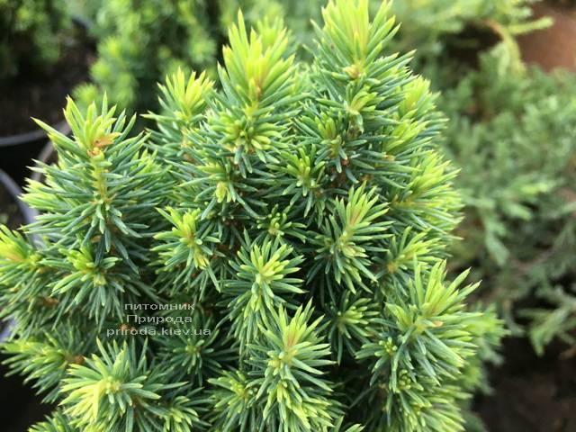 Ель канадская Лаурин (Picea glauca Laurin) ФОТО Питомник растений Природа Priroda (296)