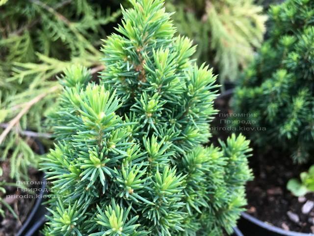 Ель канадская Лаурин (Picea glauca Laurin) ФОТО Питомник растений Природа Priroda