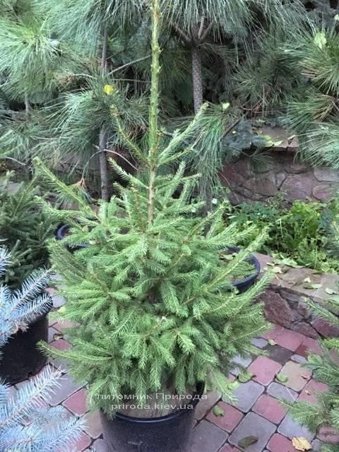 Ель обыкновенная / европейская (Pisea abies) ФОТО Питомник растений Природа Priroda (280)
