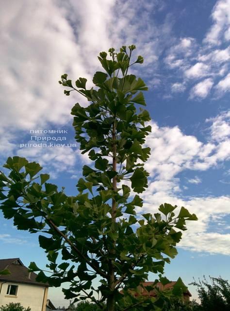 Гинкго двулопастное (Ginkgo biloba) ФОТО Питомник растений Природа Priroda
