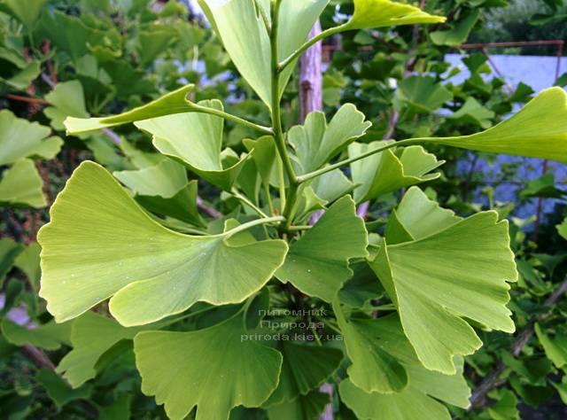 Гинкго двулопастное (Ginkgo biloba) ФОТО Питомник растений Природа Priroda (3)