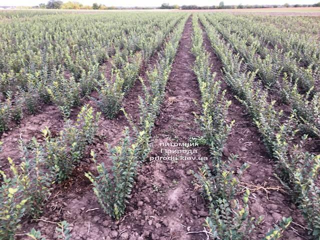 Кизильник блестящий (Cotoneaster lucidus) ФОТО Питомник растений Природа Priroda (23)