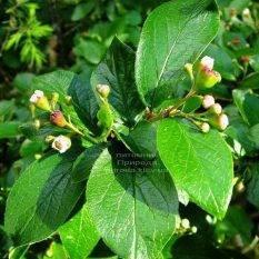 Кизильник блестящий (Cotoneaster lucidus) ФОТО Питомник растений Природа Priroda
