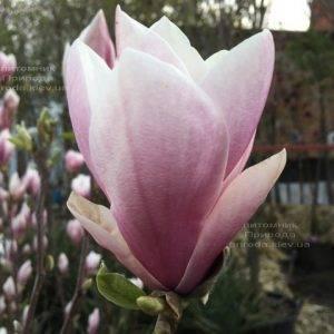 Магнолия Суланжа (Magnolia soulangeana) ФОТО Питомник растений Природа Priroda (124)
