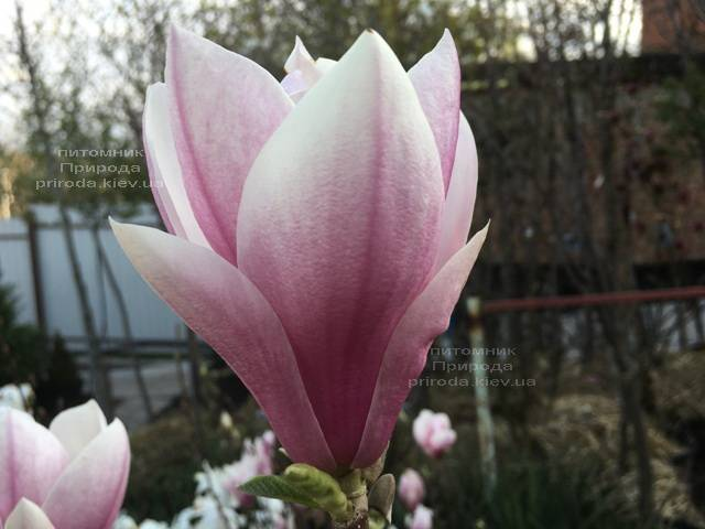 Магнолия Суланжа (Magnolia soulangeana) ФОТО Питомник растений Природа Priroda (125)