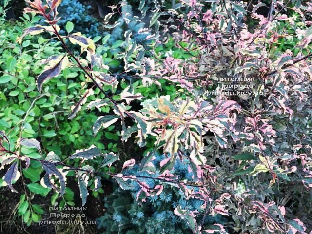 Слива растопыренная Хессея на штамбе (Prunus cerasifera Hessei) ФОТО Питомник растений Природа (Priroda) (34)