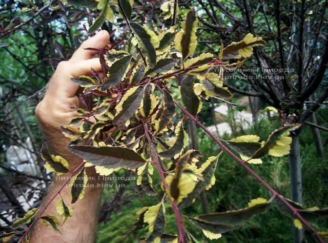 Слива растопыренная Хессея на штамбе (Prunus cerasifera Hessei) ФОТО Питомник растений Природа (Priroda) (27)