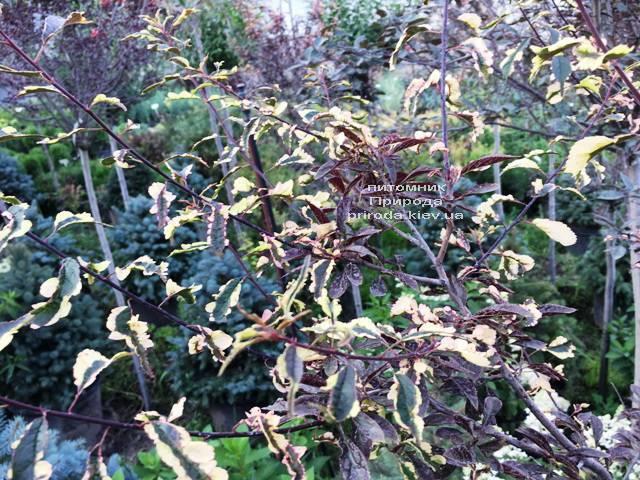 Слива растопыренная Хессея на штамбе (Prunus cerasifera Hessei) ФОТО Питомник растений Природа (Priroda) (31)